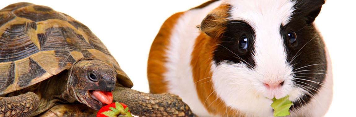 leczenie-swinki-morskiej-zolwii